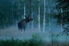 Moose safari in Sweden