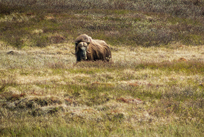 You can see Muskox at this national park in Norway