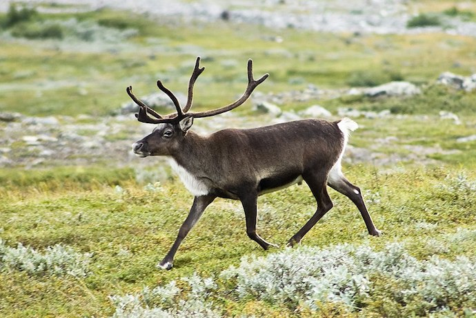 Reindeer along the Kungsladen, Sweden